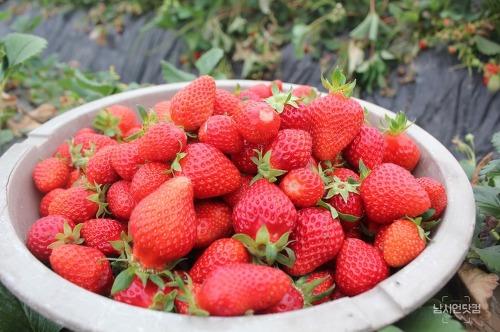 달콤한 유혹, 맛있는 안동 딸기
