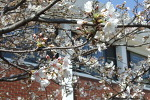 목련꽃지고 벚꽃피니 봄은 깊어간다