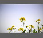 제주도의 봄을 알리는 알리미 - 제주 송악산 유채꽃밭