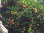 능소화, 능소화꽃, 체화당 능소화꽃