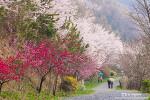 진해 드림로드, 꿈결에 살짝 본 듯한 봄 향기 가득한 꽃길