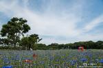 경주 첨성대 양귀비꽃, 수레국화와 함께 어우러진 풍경
