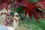 [포토에세이] 집을 비운 사이 잎이 무성하게 자란 적단풍/적단풍 묘목/적단풍 나무