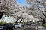서울 벚꽃명소, 남산 | 서울 가볼만한곳