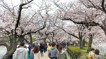 Cherry Blossoms - Ueno Park (4K)