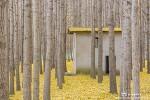 경주 도리마을 은행나무숲, 노랗게 물든 아름다운 가을