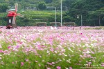 하동 북천 코스모스 메밀꽃 축제, 마을 전체가 꽃밭이다!