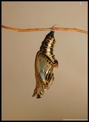 굵은줄나비 용화(蛹化)