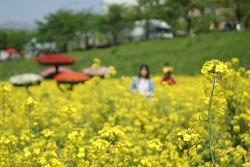 양산 유채꽃단지 풍경