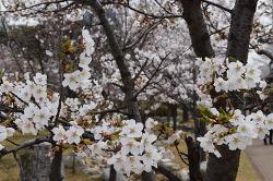 인천 중앙공원 벚꽃 나들이