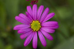 사계국화꽃