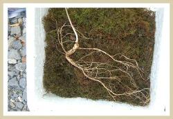 2009년  기축년 기록 산삼사진 (산원초)