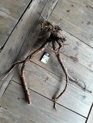 봉삼 백선피 사진 산원초