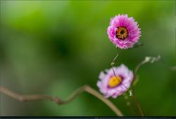 꽃 - 71 (코스모스, 메리골드, 산국, 해국, 호야, 로단세)