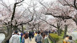 Cherry Blossoms - Ueno Park (4K)