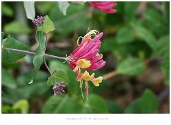 [6월 꽃나무] 붉은인동 (페리클리메눔인동 '벨기카')