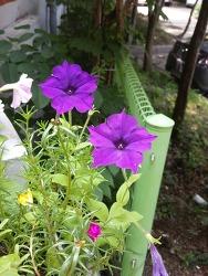 페튜니아 꽃이라고 하네요^^