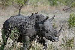 예측할 수 있는 위기에 대비하라. 회색 코뿔소, 그레이 라이노란?