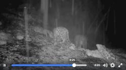 네팔 안나푸르나 마낭에서 포착된 멸종위기종 '설표'(눈표범)