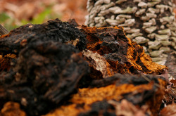 차가버섯 효능 효과 부작용 먹는방법 보관방법