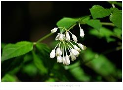 [5월 흰꽃나무] 고추나무꽃 - 오대산 5월 야생화