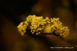 [SONY A700] 산수유꽃