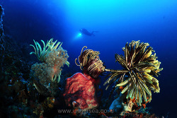 soft coral & diver, Moal boal, Philippines