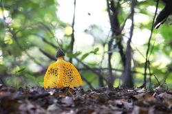 노랑망태버섯의 성장,,