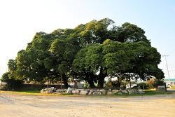 천연기념물 제481호 / 장흥 삼산리 후박나무 (長興 三山里 후박나무)