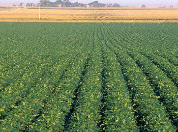 유전자 변형 작물(Genetically modified crops)에 관한 단상(斷想)