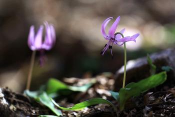 화야산 야생화 얼레지, 4월 봄 숲속의 여왕