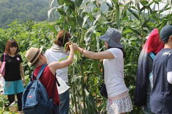 농산물 수확체험(옥수수, 고추, 깻잎) - 6월~7월