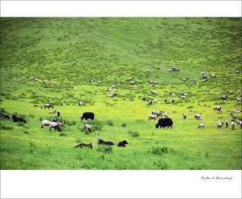 티베트, 루얼까이 초원을 달리며...