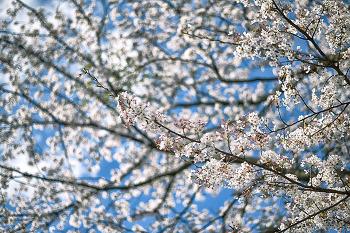벚꽃시즌 종료