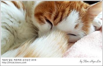 [적묘의 고양이]19살 초롱군,노묘의 가장 큰 일, 하품, 꼬리종양 현황
