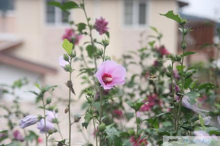 우리가 잘 몰랐던 우리나라꽃 무궁화의 비밀