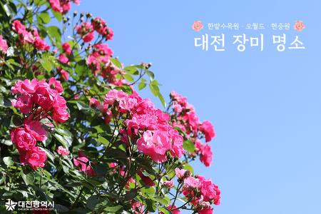 [카드뉴스]대전 장미명소 베스트 3 오월드, 한밭수목원, 현충원