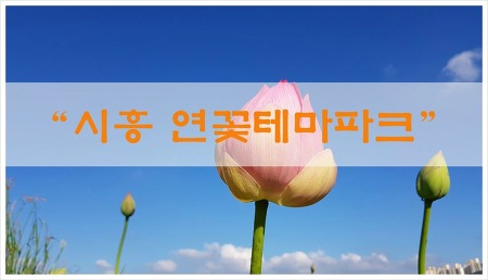 시흥 관곡지 연꽃테마파크 다녀왔습니다.