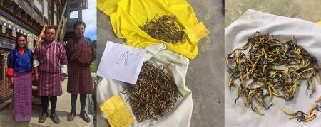 부탄 왕국, 동충하초 킬로그램당 4천만원 돌파··· 경매 사상 최고가 경신