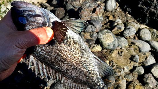 통발로 잡은 우럭으로 맛있는 생선요리 만들기