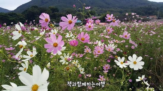 기차여행과 북천 코스모스 메밀꽃 축제 여유가 있는 풍경