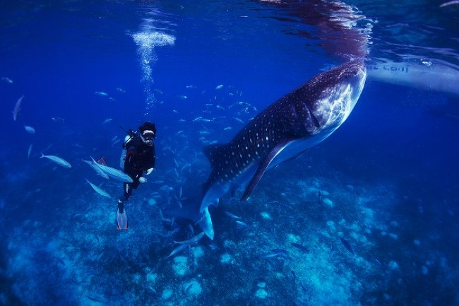 Oslop, Cebu 고래상어를 보러 가다.