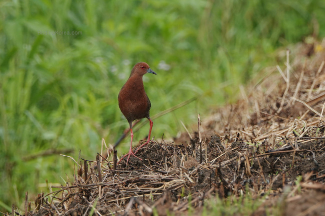 Birds in the rice filed of Far Eastern Asia