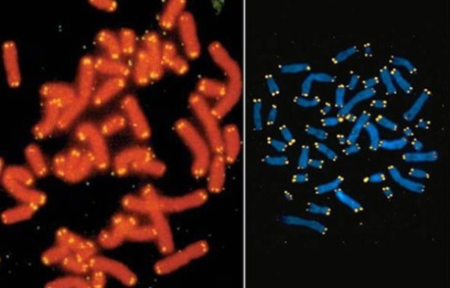 인간 수명의 한계, 헤이플릭 한계와 불노불사와 관련된 세포이야기, 텔로미어, 텔로머라제