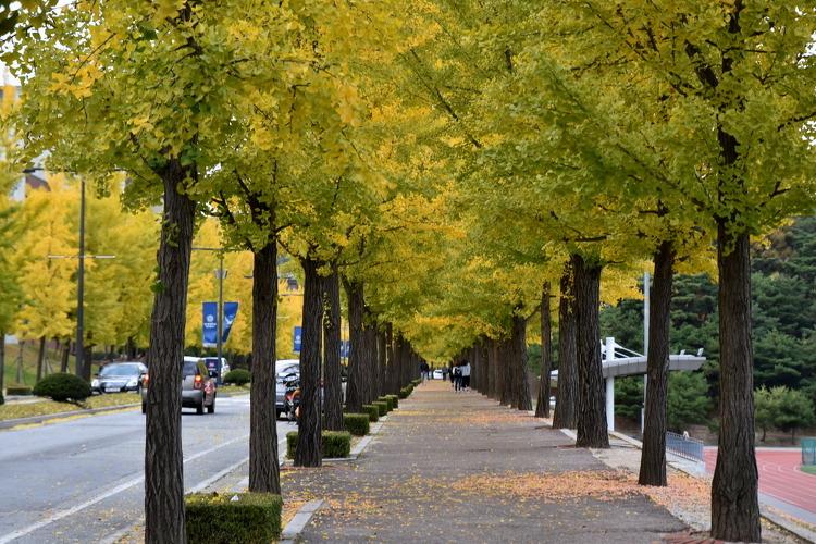 연세대 원주 캠퍼스는 은행나무가 좋다