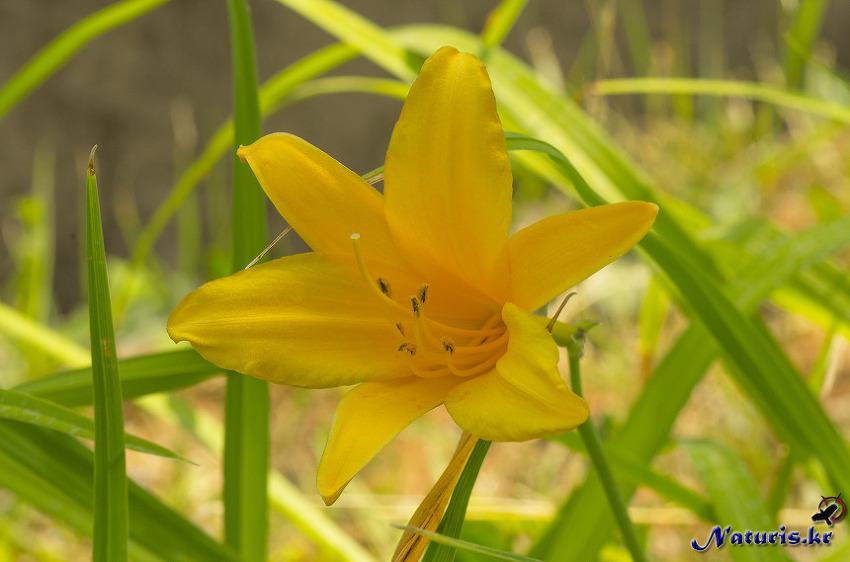 여름꽃들 (장미, 원추리, 개망초)
