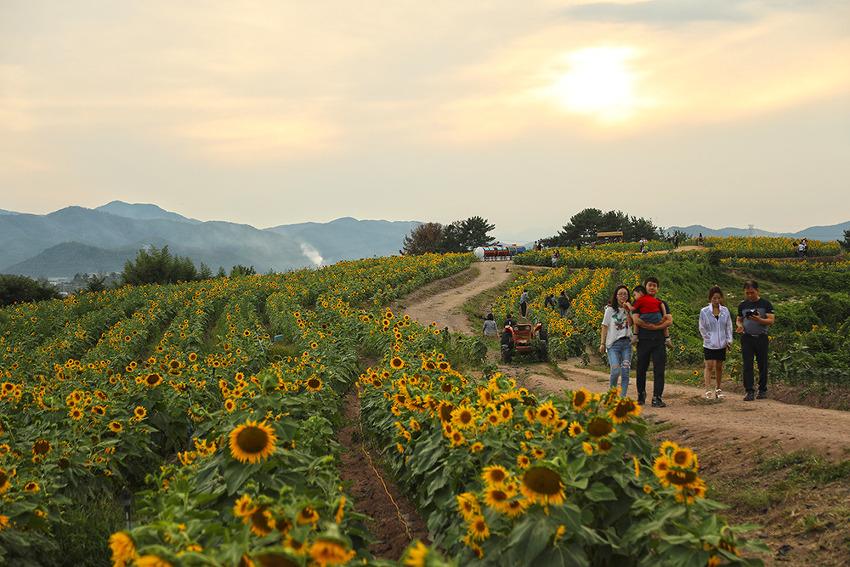 황금빛 노란 물결 일렁이는 제5회 함안 강주마을 해바라기 축제!!