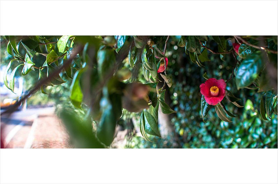 동백꽃이 인사하는 제주