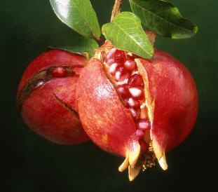 석류효소만드는법