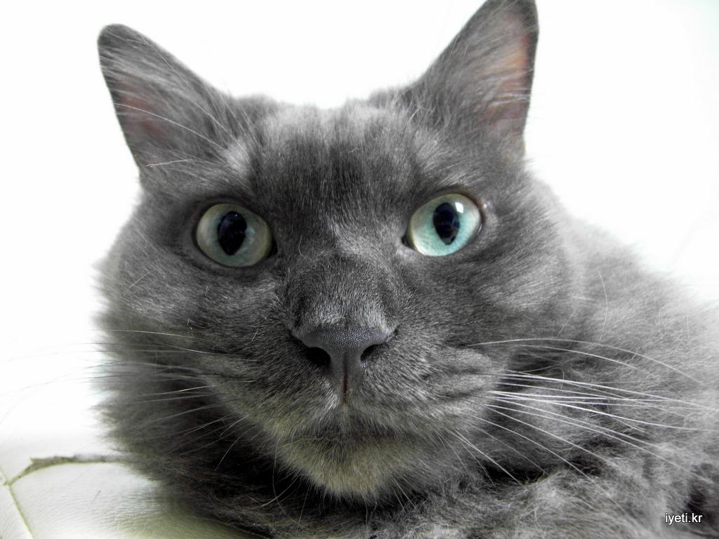 네벨룽 고양이 피콜로